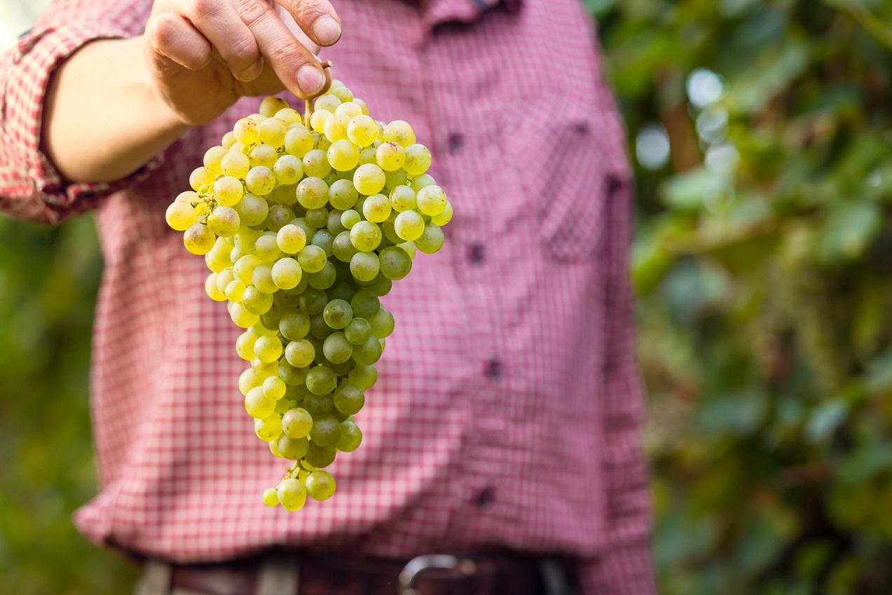 Az illatos fehérborok sztárja – Irsai Olivér